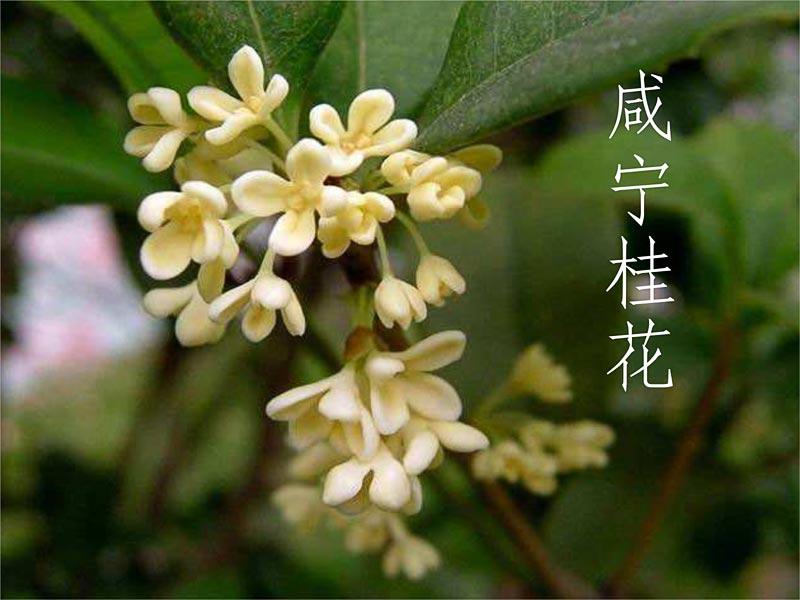 楚香随·咸宁桂花